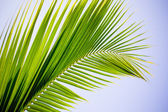 Coconut frond a — Stock Photo