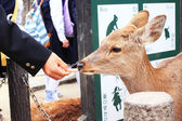 Japanese young students are feeding food to a deer infront of Todaiji temple, the famous temple in Nara, Japan — Stock Photo