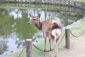 Freely walking deer in front of Todaiji temple, the famous place in Nara, Japan. — Stock Photo