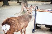 東大寺、奈良で有名な場所の前に自由に歩き鹿日本します。. — ストック写真