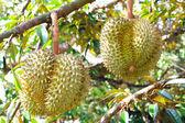 Fresh durian fruits on tree. — Stock Photo