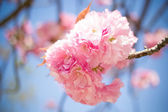 Cherry blossom, sakura, in spring of Kyoto — Stock Photo