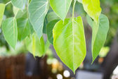 Green Peepal or bodhi leave from the bodhi tree — Stock Photo