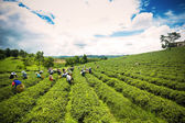 Unidentified workers are harvesting tea leaves at Chiangrai prov — Photo