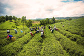 Unidentified workers are harvesting tea leaves at Chiangrai prov — Stock Photo