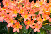 Orange Adenium obesum tree, Desert Rose, Impala Lily, Mock Azale — Stock Photo