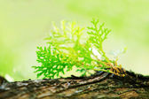 Closed up of pine leaf on tree for background — Stock Photo
