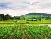 Thai rice field — Stock Photo