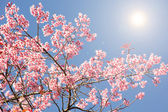 Fondo de flor de cerezo de primavera. — Foto de Stock