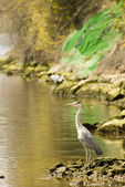 Heron by the water — Stock Photo