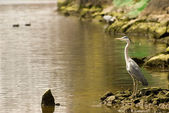 Heron by the water . — ストック写真