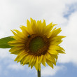 Sunflower blue sky — Stock fotografie