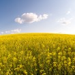 Yellow rape field landscape — Stock Photo