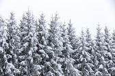 Schneebedeckte tannen — Stockfoto