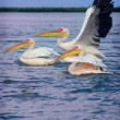 Picture of pelicans captured in Senegal — Stock Photo