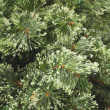 Stock Photo: Plain Christmas Pine