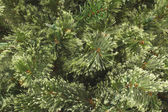 Plain Christmas Pine — Stock Photo
