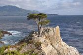 Lone Cypress Tree on Monterey Peninsula — Stock Photo