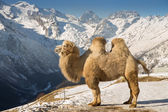 Camel in the mountains — Stock Photo