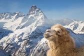 Kameel in de bergen — Stockfoto