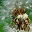 Dandelion common blowball — Stock Photo