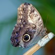 Owl butterfly — Stockfoto