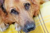 Dog eyes — Stock Photo