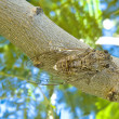 Greek cicada — Stock Photo