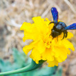Постер, плакат: Carpenter bee