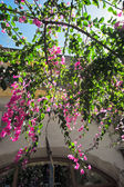 Bougainvilleas on streets — Stock Photo