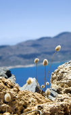 The tiny fluffy plants of Gramvousa — Stock Photo