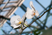 White orchids — Stock Photo