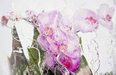 Frozen pink orchids 2 — Stock Photo