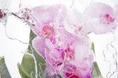 Frozen pink orchids — Foto de Stock