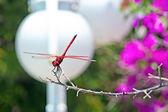 красная стрекоза — Стоковое фото