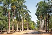 Palm alley in Peradeniya Royal Botanical park in Kandy, Sri Lanka — Stock Photo