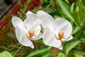 Phalaenopsis cultivar Aphrodite — Stock Photo