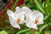 Phalaenopsis cultivar Aphrodite — Stock Photo