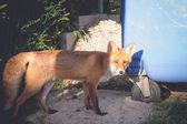 Wild animal red fox — Stock Photo