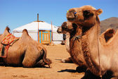 Camels in front of yurt — Stock Photo