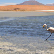 Flamingos on lake in the southern part of Bolivia — Stock Photo