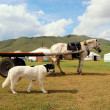 Dog and Horse in front of Mongolian yurts — Stock Photo #38424463