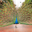Splendid green beautiful peacock — Stock Photo #38683429