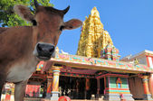 Sacred cow in front of Hindu temple, Sri Lanka — Stock Photo