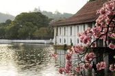 Blooming cherry tree and Buddha, Kandy, Sri Lanka — Stock Photo