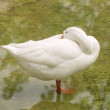 Stock Photo: White duck