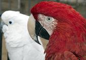 Macaw eye — Zdjęcie stockowe