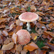 fly agaric — Stock Photo