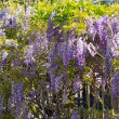 Wisteria — Stock Photo #37000365