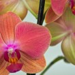 Coral Phalaenopsis orchid — Stock Photo #37441669